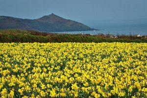 William Wordsworth Daffodils